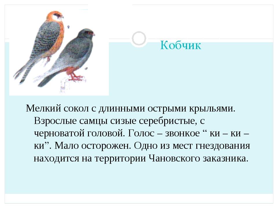 Кобчик Мелкий сокол с длинными острыми крыльями. Взрослые самцы сизые серебри...