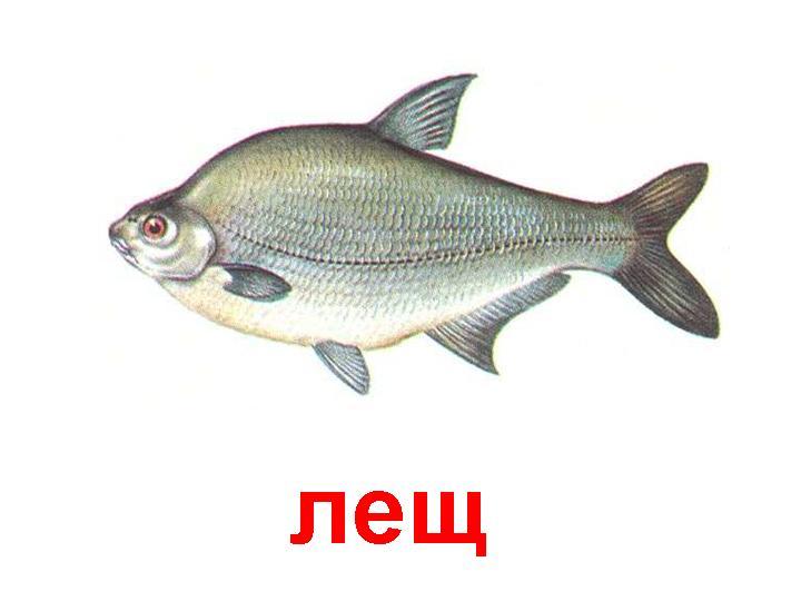 http://900igr.net/datas/morskie-zhiteli/Ryby-presnovodnye.files/0018-018-Lesch.jpg