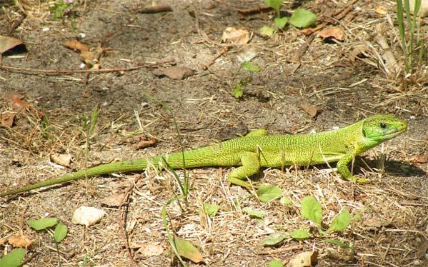 http://upload.wikimedia.org/wikipedia/commons/e/e7/Lacerta_viridis.jpg