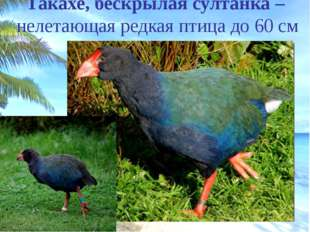 Какапо – совиный попугай – единственный в мире нелетающий попугай