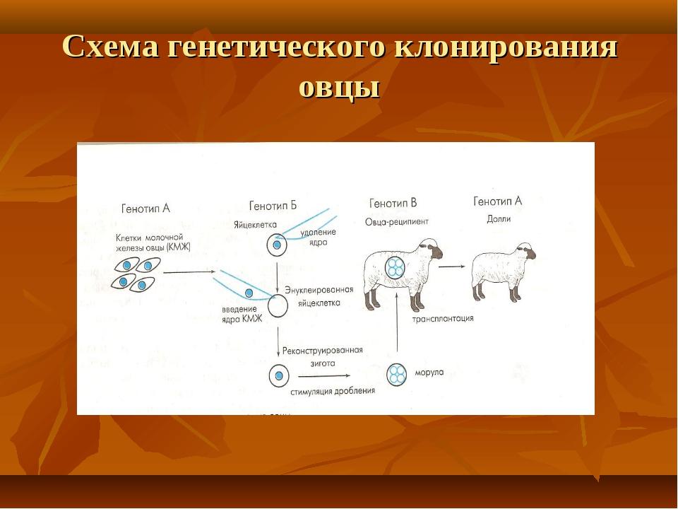 Схема генетического клонирования овцы