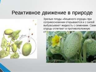 Реактивное движение в природе Зрелые плоды «бешеного огурца» при соприкоснове
