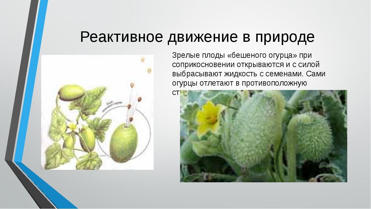 Реактивное движение в природе Зрелые плоды «бешеного огурца» при соприкоснове...