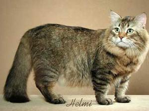 сибирская кошка фото 3