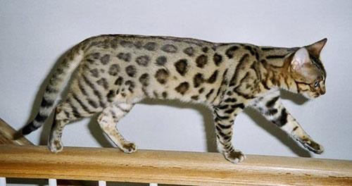 Бенгальская кошка фото 3