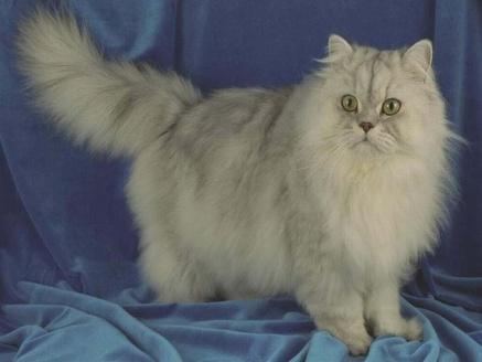 Persian Cat Pictures