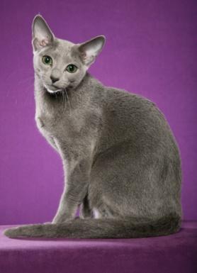 русская голубая кошка фото 5