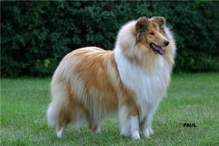 Shutterstock : lassie сток фотографии, lassie сток-фотография, lassie сток-изображения