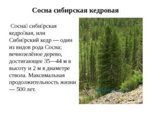 Сосна сибирская кедровая Сосна́ сиби́рская кедро́вая, или Сиби́рский кедр — о