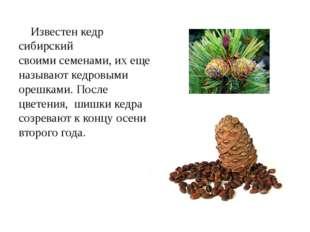 Известен кедр сибирский своимисеменами, их еще называют кедровыми орешками.