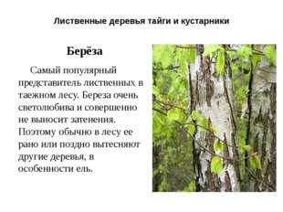 Лиственные деревья тайги и кустарники Берёза Самый популярный представитель л