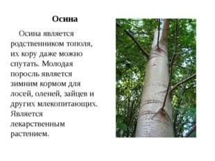 Осина Осина является родственником тополя, их кору даже можно спутать. Молод