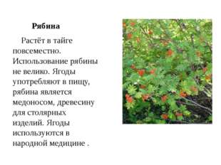 Рябина  Растёт в тайге повсеместно. Использование рябины не велико. Ягоды у