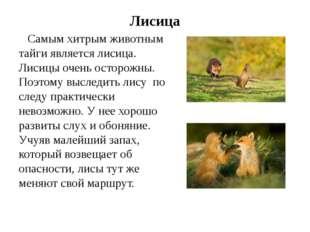 Лисица Самым хитрым животным тайги является лисица. Лисицы очень осторожны. П