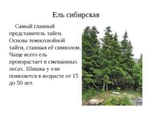 Ель сибирская Самый главный представитель тайги. Основа темнохвойной тайги, с