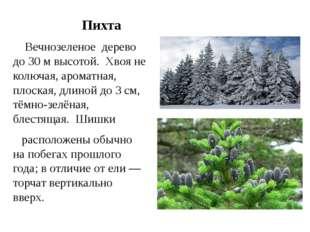 Пихта Вечнозеленое дерево до 30м высотой. Хвояне колючая,ароматная, пло
