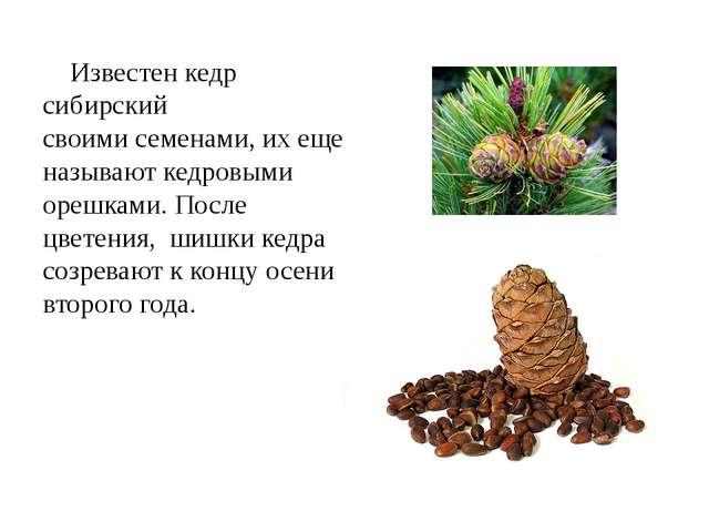Известен кедр сибирский своимисеменами, их еще называют кедровыми орешками....