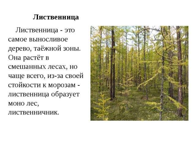 Лиственница Лиственница - это самое выносливое дерево, таёжной зоны. Она рас...