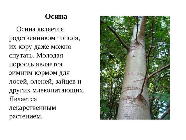 Осина Осина является родственником тополя, их кору даже можно спутать. Молод...