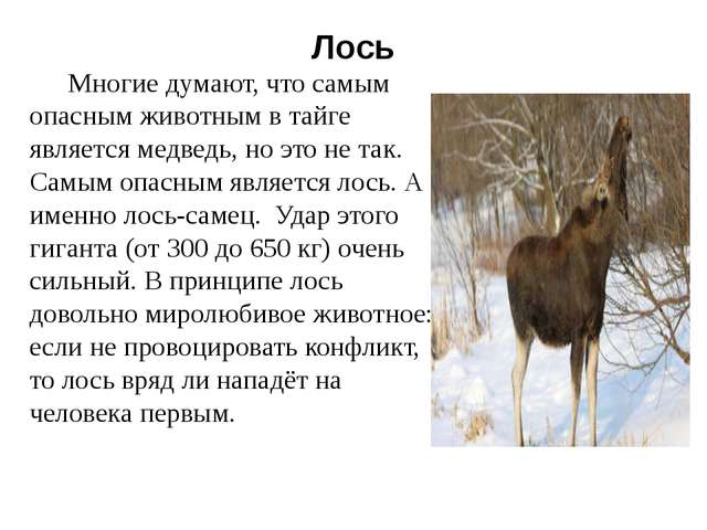 Лось Многие думают, что самым опасным животным в тайге является медведь, но э...