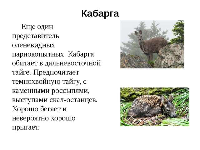 Кабарга Еще один представитель оленевидных парнокопытных. Кабарга обитает в д...