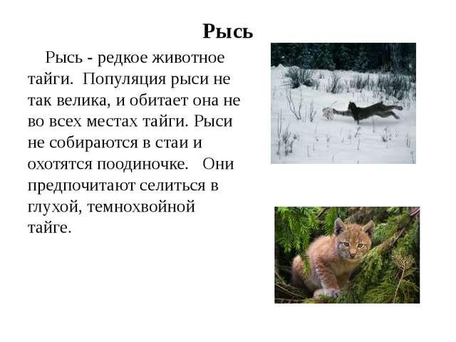 Рысь Рысь - редкое животное тайги. Популяция рыси не так велика, и обитает он...