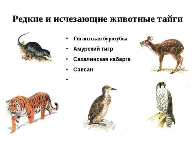 Редкие и исчезающие животные тайги Гигантская бурозубка Амурский тигр Сахалин...