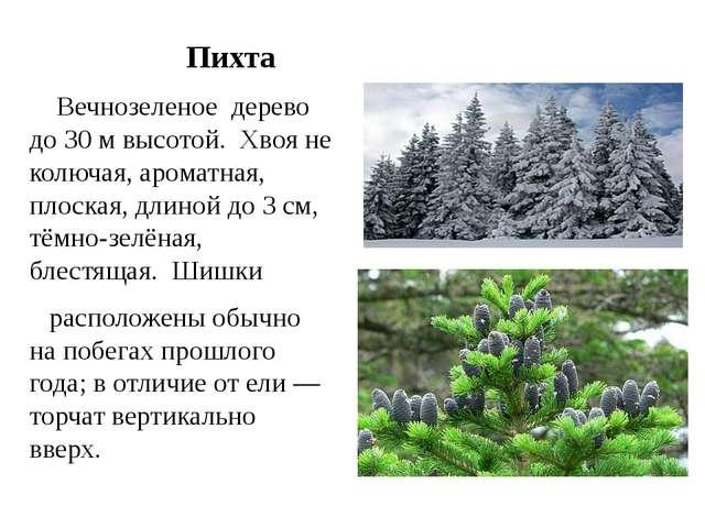 Пихта Вечнозеленое дерево до 30м высотой. Хвояне колючая,ароматная, пло...