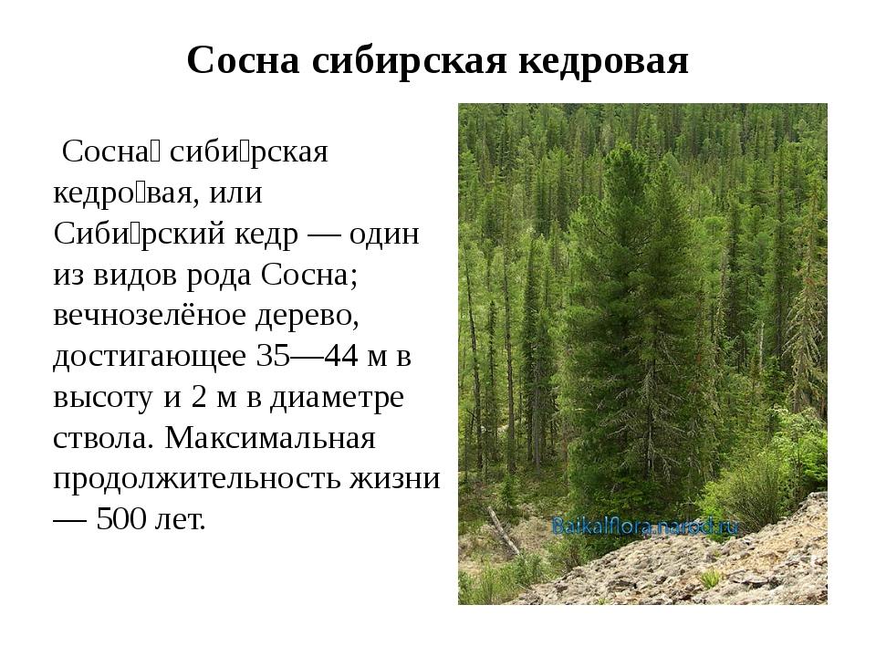 Сосна сибирская кедровая Сосна́ сиби́рская кедро́вая, или Сиби́рский кедр — о...