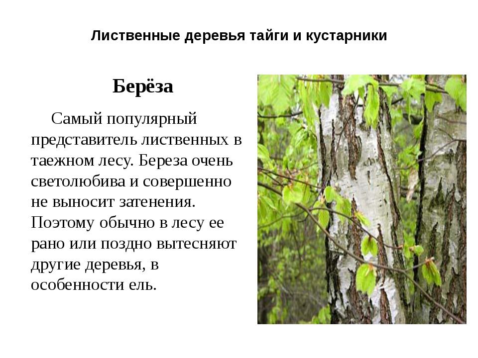 Лиственные деревья тайги и кустарники Берёза Самый популярный представитель л...