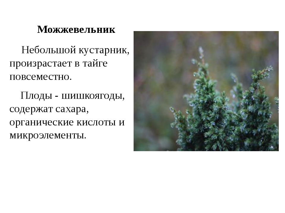 Можжевельник Небольшой кустарник, произрастает в тайге повсеместно. Плоды -...