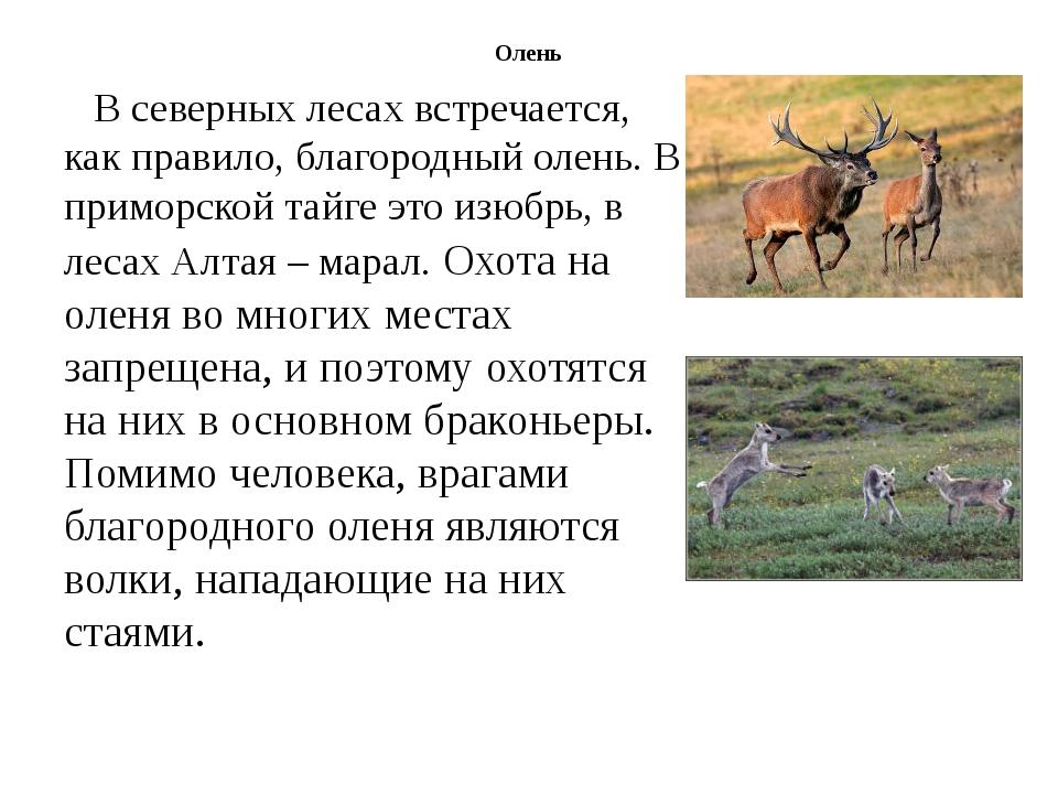 Олень В северных лесах встречается, как правило, благородный олень. В приморс...