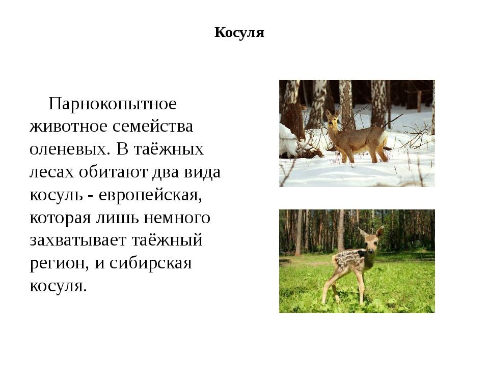 Косуля Парнокопытное животное семейства оленевых. В таёжных лесах обитают два...