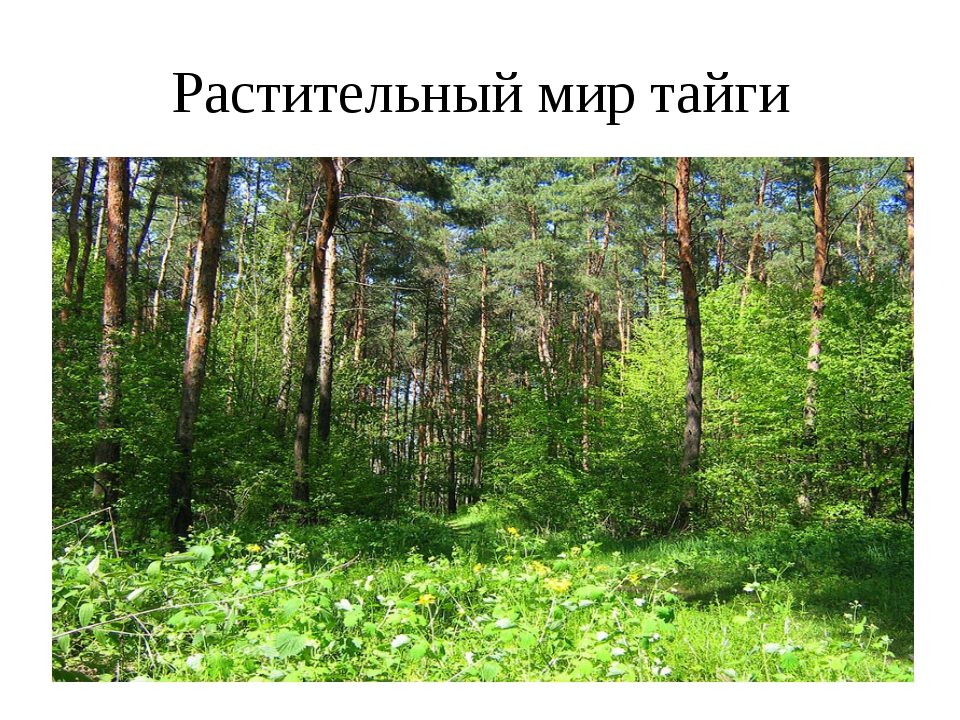 Растительный мир тайги