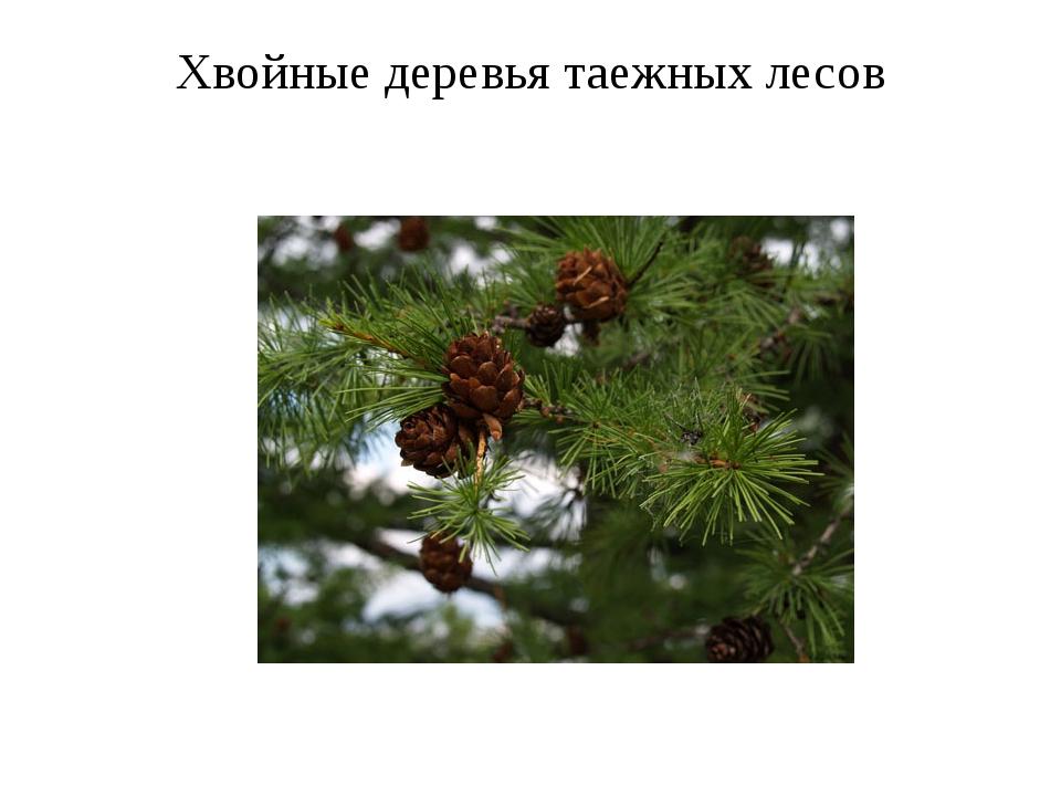 Хвойные деревья таежных лесов