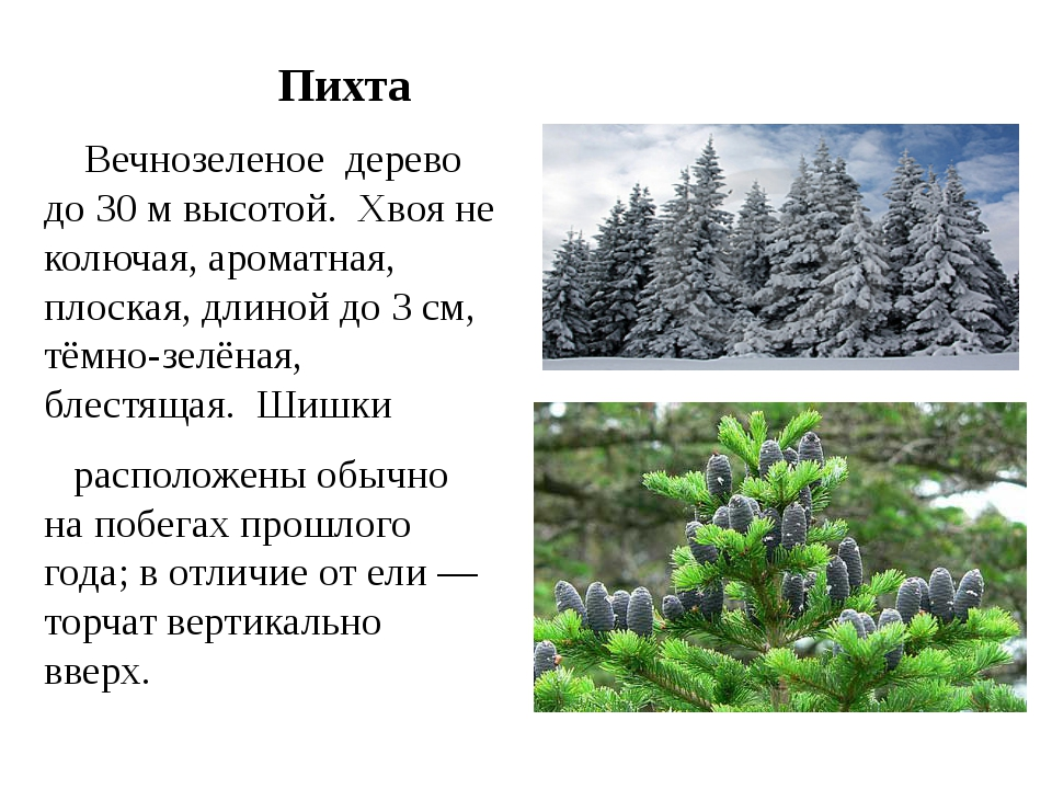 Дерево пихта описание