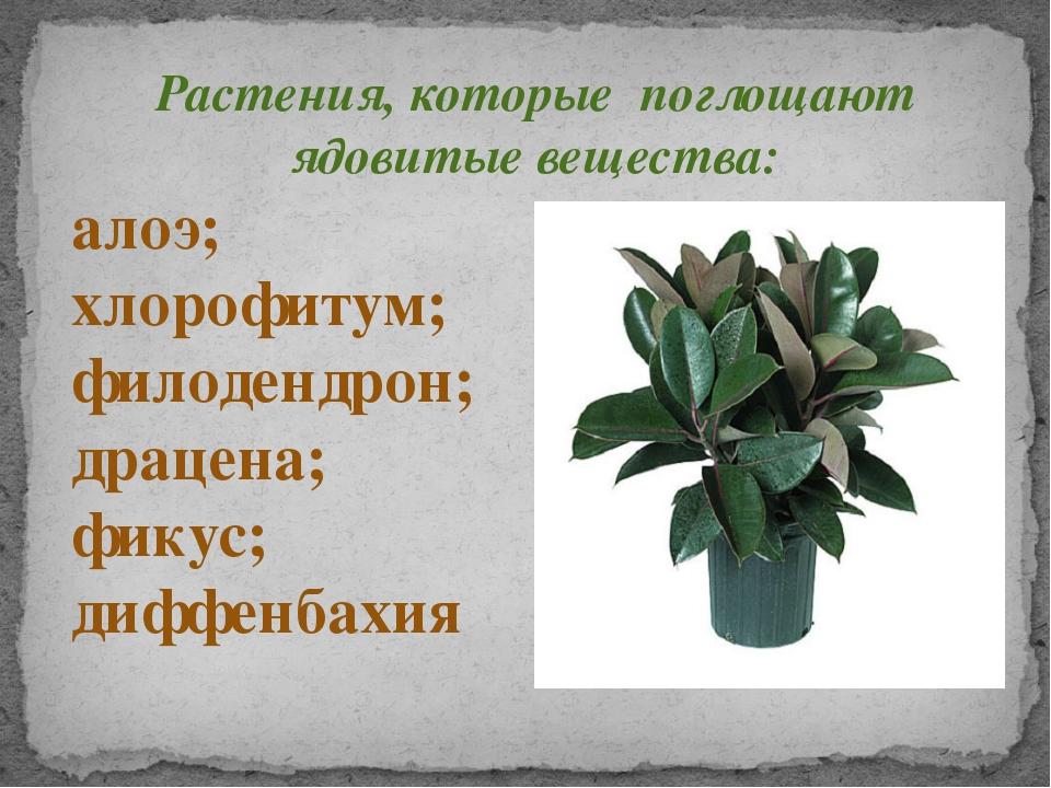Растения, которые поглощают ядовитые вещества: алоэ; хлорофитум; филодендрон;...