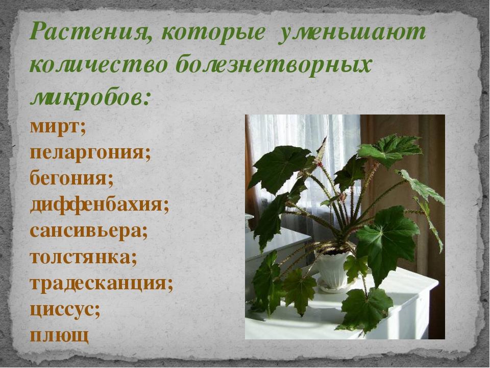 Растения, которые уменьшают количество болезнетворных микробов: мирт; пеларго...
