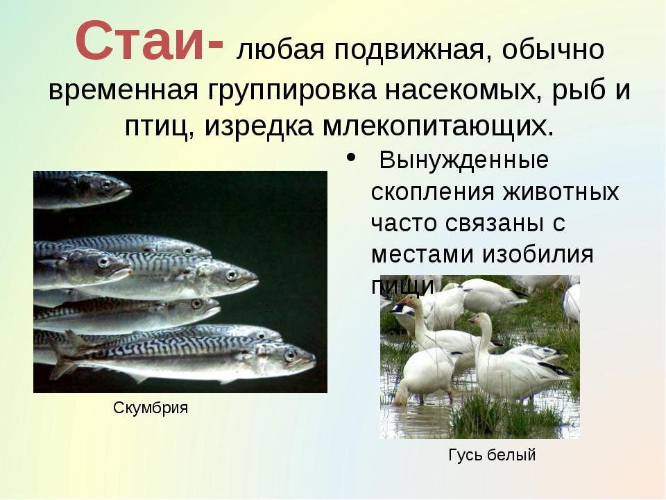 Стаи- любая подвижная, обычно временная группировка насекомых, рыб и птиц, из...
