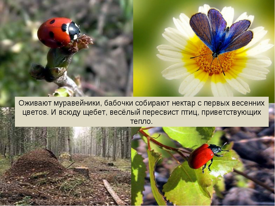 Оживают муравейники, бабочки собирают нектар с первых весенних цветов. И всюд...