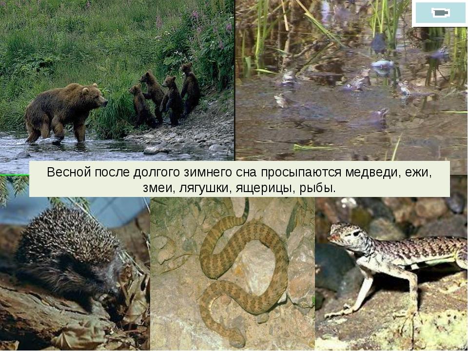 Весной после долгого зимнего сна просыпаются медведи, ежи, змеи, лягушки, яще...