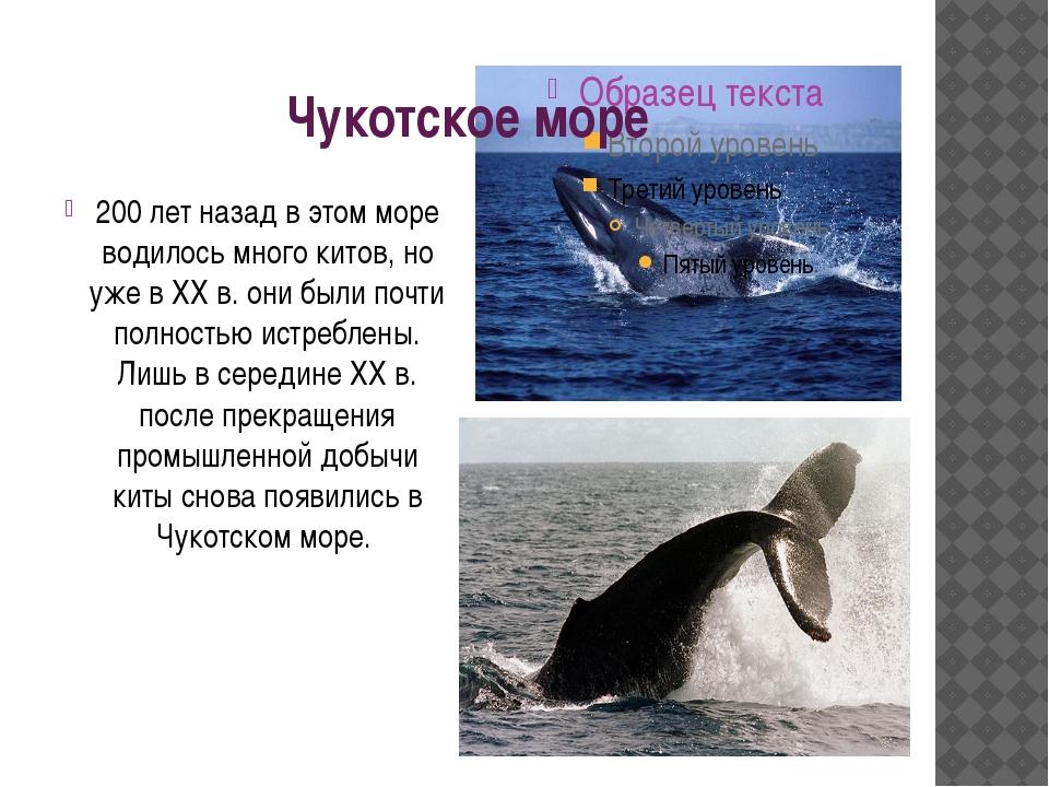Чукотское море 200 лет назад в этом море водилось много китов, но уже в XX в....