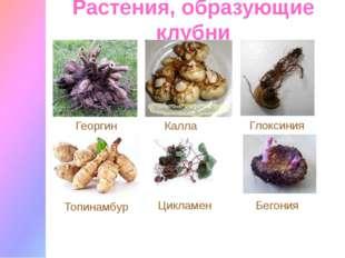 Растения, образующие клубни Цикламен Калла Топинамбур Георгин Глоксиния Бегония
