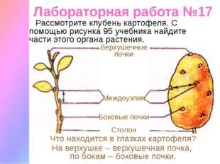 Лабораторная работа №17 Рассмотрите клубень картофеля. С помощью рисунка 95 у