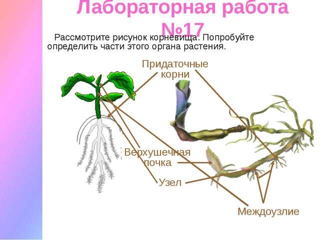 Лабораторная работа №17 Рассмотрите рисунок корневища. Попробуйте определить...