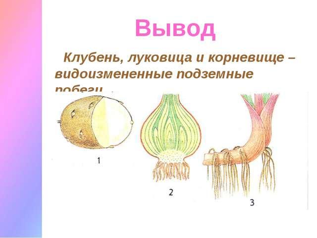 Вывод Клубень, луковица и корневище – видоизмененные подземные побеги.