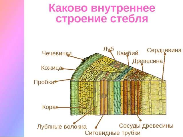 Каково внутреннее строение стебля Кожица Чечевички Пробка Луб Лубяные волокна...