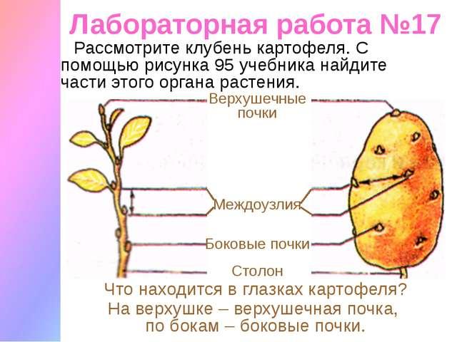 Лабораторная работа №17 Рассмотрите клубень картофеля. С помощью рисунка 95 у...