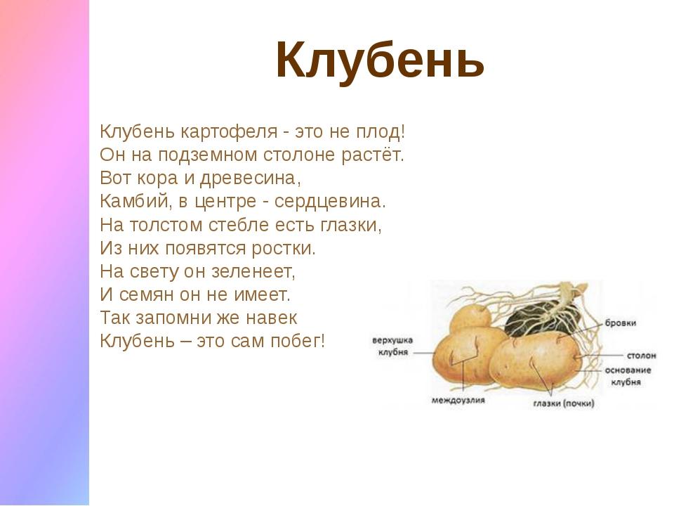 Клубень Клубень картофеля - это не плод! Он на подземном столоне растёт. Вот...