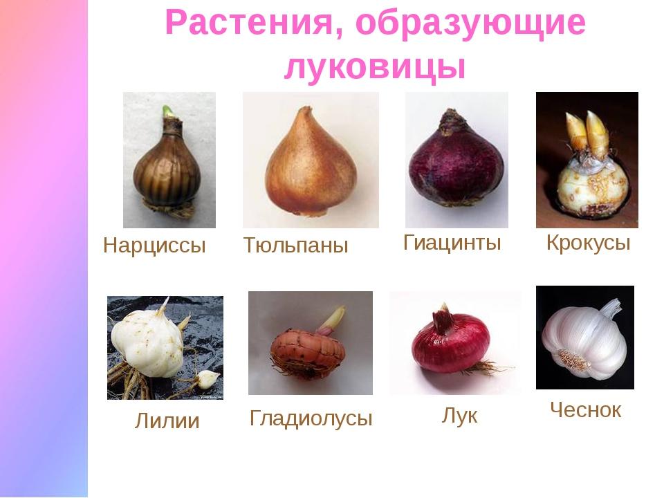 Растения, образующие луковицы Нарциссы Тюльпаны Гиацинты Крокусы Лилии Гладио...